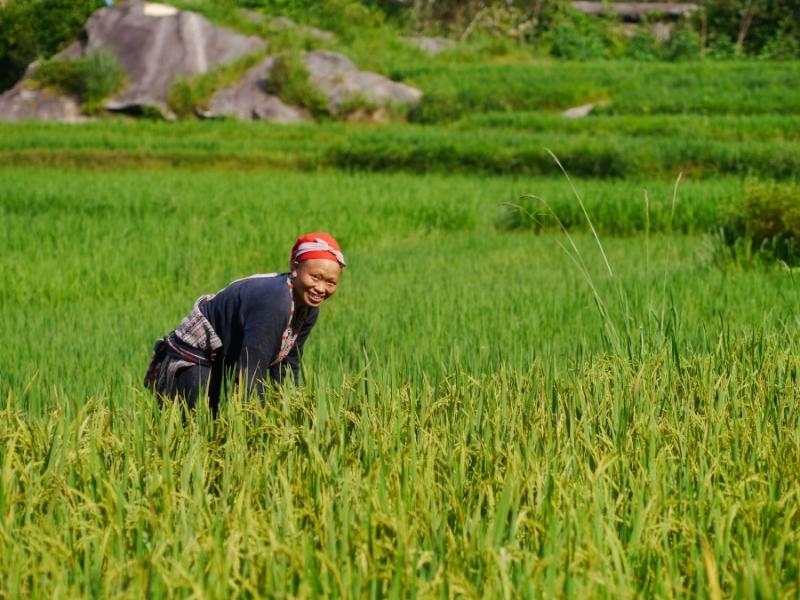 Tai rouge récoltant le riz[1]